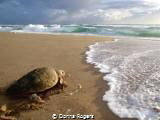 Loggerhead Turtle headed back to the water after nesting ... by Donna Rogers